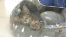 The Humane Society is offering free adoptions for felines five months and older for a limited time in Windsor, Ont. on Tuesday, Oct. 26, 2021. (Sijia Liu/CTV Windsor)