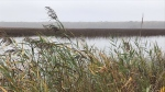 An invasive plant, Phragmites, is being removed and controlled in the Tiny Marsh in Tiny Township, Ont., on Tues., Oct. 26, 2021 (Rob Cooper/CTV News)