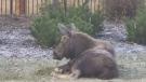 Moose death prompts calls for change