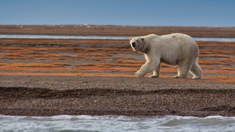 A polar bear walks along a shore in this stock image (Pexels/Dick Hoskins)