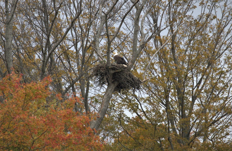 Eagles nest in Iona Station, (Source: Rob Molnar)