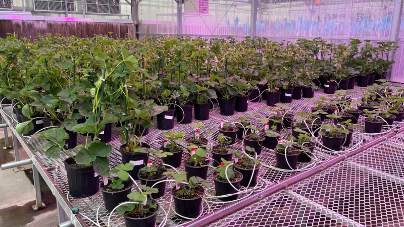 Gene-edited strawberry plants grow in a J.R. Simplot Company greenhouse in Boise, Idaho, on Oct. 22, 2021. (Keith Ridler / AP)
