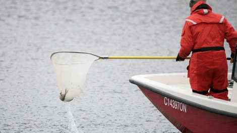 A Fisheries and Oceans Canada worker pulls a fish from the Chicago Sanitary and Ship Canal as they search for Asian carp in Lockport, Ill., Thursday, Dec. 3, 2009.  (AP / M. Spencer Green)
