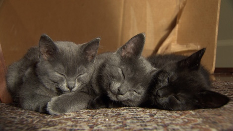 Officials say the Vancouver Orphan Kitten Rescue spends $35,000 a year on cat food alone. Dec. 19, 2009. (CTV)