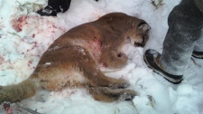 Conservation officers later found and shot two cougars dead. Jan. 4, 2010.