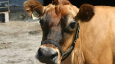 A dairy cow at the Home on the Range farm in Chilliwack, B.C., is seen in a 2008 image.