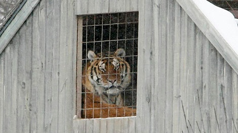 A tiger watches activity at a residence in Southwold, Ont., Monday, Jan.11, 2010. (Dave Chidley / THE CANADIAN PRESS)