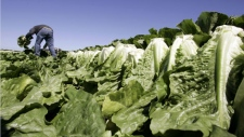 A worker harvests romaine lettuce in Salinas, Calif., Thursday, Aug. 16, 2007.  (AP Photo/Paul Sakuma)