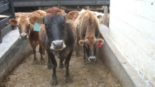 Astor, seen far left, is part of a cow share program at Hedgebrook Farms in Winchester, Virginia.