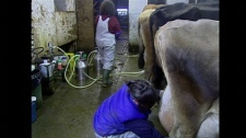 Farmers at the Home on the Range dairy co-op in Chilliwack, B.C., milk cows in January 2010. The operation is under investigation by B.C. health authorities. (CTV)