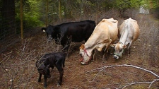 Cows roam freely at Kurtis Staven�s 14 acre raw dairy co-op in Christina Lake, B.C.
