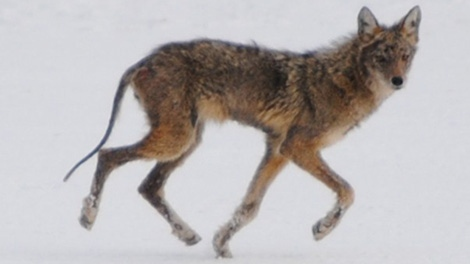 Hunt Club Coyote