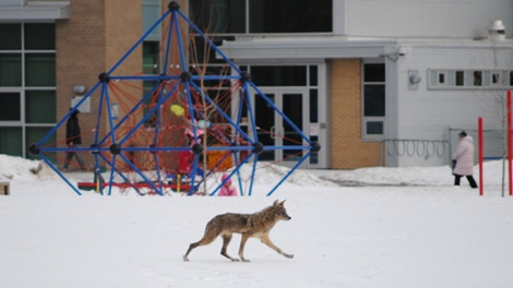 A coyote wanders through a playground in south Ottawa, while children play outside. Viewer photo submitted by: Coun. Diane Deans' office.