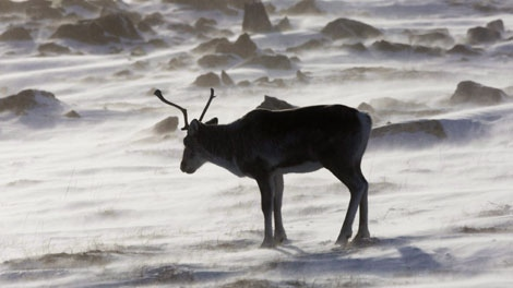 A wild caribou roams the tundra near The Meadowbank Gold Mine located in the Nunavut Territory of Canada on March 25, 2009. (THE CANADIAN PRESS/Nathan Denette)