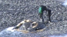 An image taken from a video, shot by a Government of Alberta wildlife staff member, shows a duck coated in bitumen trying to escape the tailings pond.