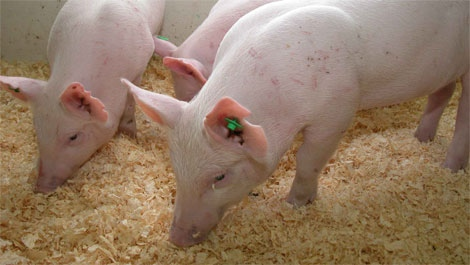 Examples of two Enviropigs (courtesy the University of Guelph)