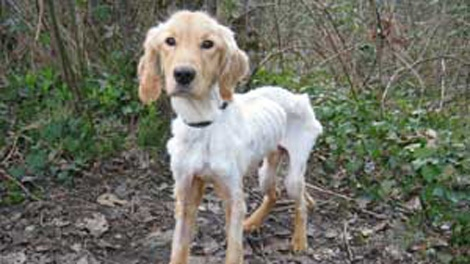 The B.C. SPCA says it is recommending charges against the owner of a golden retriever that was found starving by the side of the road in Maple Ridge. March 9, 2010. (SPCA)