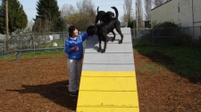 Richmond Animal Protection Society volunter Jess Tung leads Black Labradors Panzer and Gryph from the shelter over the RAPS agility equipment. March 18, 2010. (RAPS)