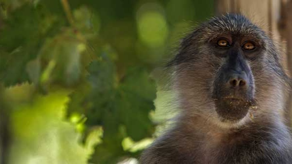 In this photo taken Friday, March 19, 2010, a Baboon looks for grapes at a vineyard on the Constantia Uitsig wine estate situated on the outskirts of Cape Town, South Africa. (AP / Schalk van Zuydam)