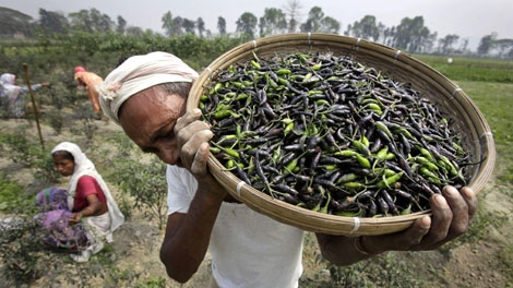 Indian farmer Mantu Barman, 44, carries chilies after harvest at his farm in Shingimari, outskirts of Gauhati, India, Tuesday, March 23, 2010. The Indian government hopes the arrival of winter-sown crops on the market will help lower soaring food prices in the country. (AP Photo/ Anupam Nath)