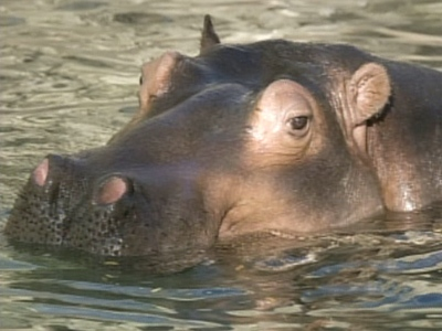 Hazina the Hippo is seen at a zoo in Denver in this file photo.