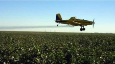 Crop dusting planes from Blair Air Service in Lemoore, Calif., dust cotton crops in this Tuesday, Sept. 25, 2001 file photo, in Lemoore. (AP / Gary Kazanjian)