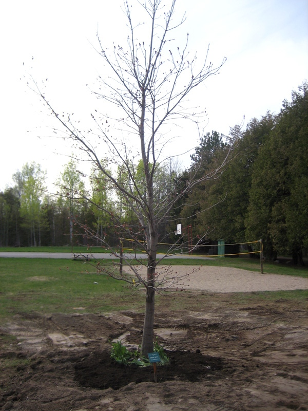 A tree honouring Brian Smith's life is replanted at Camp Smitty in Eganville, Saturday, April 24, 2010.