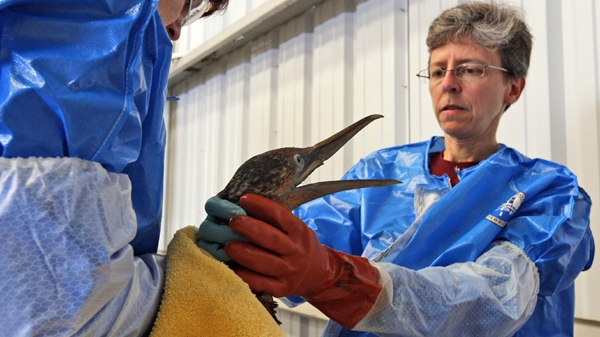 Dr. Erica Miller, right, and Danene Birtell with Tri-State Bird Rescue and Research work to give a dose of Pepto-Bismol to a Northern Gannet bird, normally white when full grown, which is covered in oil from a massive spill in the Gulf of Mexico, at a facility in Fort Jackson, La., Friday, April 30, 2010. (AP / Alex Brandon)