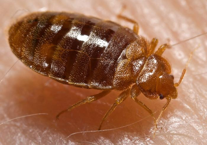 This 2006 photograph depicts a bed bug nymph, Cimex lectularius, in the process of ingesting a blood meal from the arm of a 'voluntary' human host. (CDC / Harvard University, Dr. Gary Alpert; Dr. Harold Harlan; Richard Pollack)