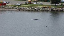 A gray whale enters False Creek near the Burrard Street Bridge. May 5, 2010. (Gord Weisflock)