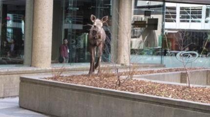 Moose outside a Calgary building
