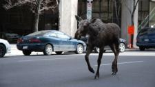 Moose on 9 Avenue