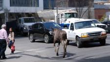 Moose in downtown Calgary