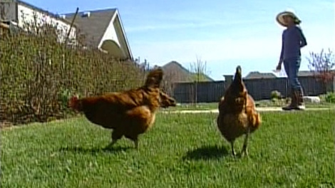 A group in Ottawa wants the city to allow them to raise chickens in backyards.