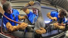 Erica Miller, left, Heather Nevell, center and Danene Birtell clean a Brown Pelican at the Fort Jackson Wildlife Rehabilitation Center at Buras, La., Saturday, May 15, 2010. (AP / Charlie Riedel)