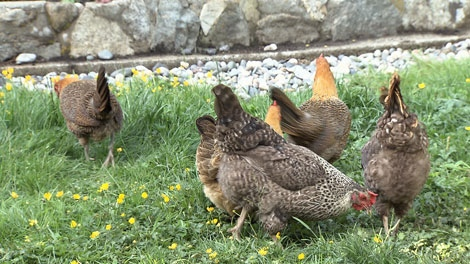 Vancouver city council has approved rules for homeowners hankering after hens. (CTV)