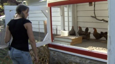Backyard chicken keeper Julia Smith says keeping chickens has brought her closer to her neighbours -- as well as providing fresh eggs for her family. (CTV)