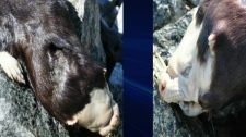 This mystery creature was pulled from a creek near a First Nations community in northern Ontario in early May.