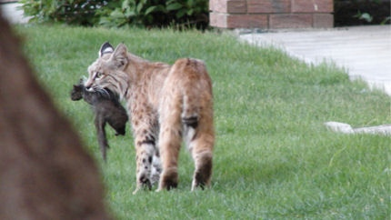 Bobcat carries a squirrel