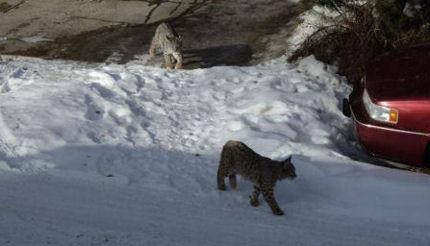 Bobcat in Oakridge
