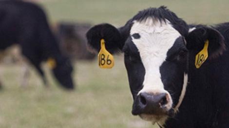 cow generic