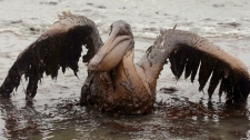 A brown pelican covered in oil sits on the beach at East Grand Terre Island along the Louisiana coast on Thursday, June 3, 2010. Oil from the Deepwater Horizon has affected wildlife throughout the Gulf of Mexico. (AP Photo/Charlie Riedel)
