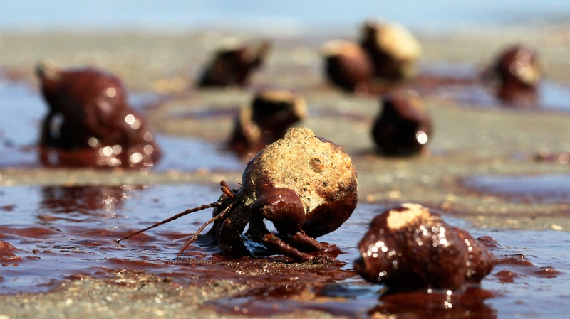 Hermit crabs struggle to cross a patch of oil from the the Deepwater Horizon spill on a barrier island near East Grand Terre Island, La, Sunday, June 6, 2010. (AP / Charlie Riedel)