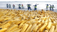 "Workers carry ""pom poms"" to soak up oil at the Pensacola inlet Sunday, June 6, 2010, in Pensacola Beach, Fla. (AP / Orlando Sentinel, George Skene)"