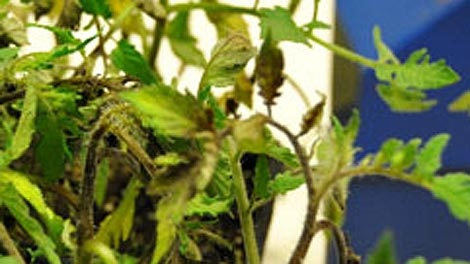 The province issued an advisory after a fungus called late blight was found in tomato seedlings. (Photo courtesy Manitoba Agriculture)