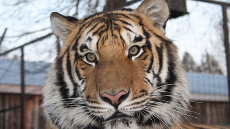 Jonas the tiger, who went missing when the zoo's truck was stolen (Photo: Surete du Quebec)