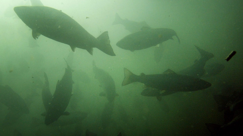 In this October 2008 file photo, Atlantic salmon swim in a pen in Eastport, Maine. Maine salmon growers last year doubled their output of the fish, as the industry continues its rebound in Maine.