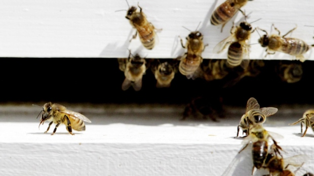 Bees come and go from a bee hive in West Bath, Maine on Monday, April 30, 2012.