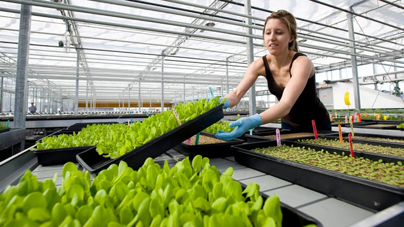 Lauren Rathmell tends to some vegetable plants in the nursery at Lufa Farms Inc., rooftop greenhouse in Montreal, Saturday, March 26, 2011. THE CANADIAN PRESS/Graham Hughes