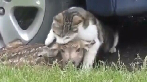 A curious cat smells and snuggles a newborn fawn huddled up to a car in Cranbrook, B.C. June 9, 2010. (YouTube)